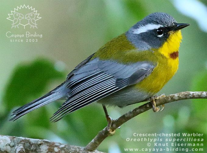 Crescent-chested warbler Crescentchested Warbler CAYAYA BIRDING photo of the month