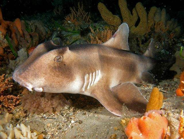 Crested bullhead shark Pinterest The world39s catalog of ideas