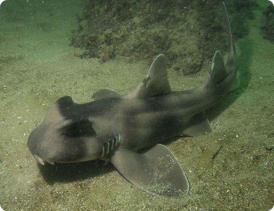 Crested bullhead shark The Crested Bullhead Is A Great Species Of Shark Shark Sider