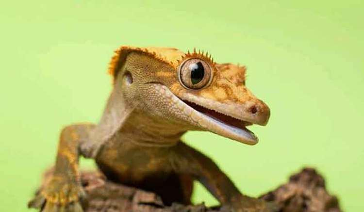 Crested Gecko Alchetron The Free Social Encyclopedia
