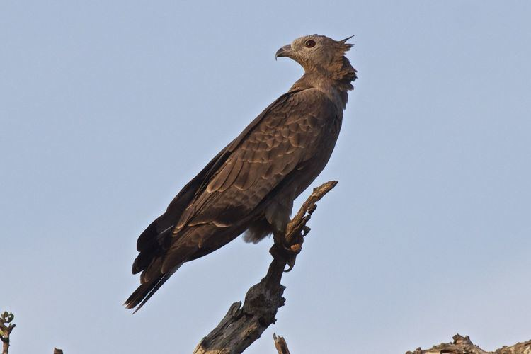 Crested honey buzzard Crested honey buzzard Bird Images HD Wallpapers
