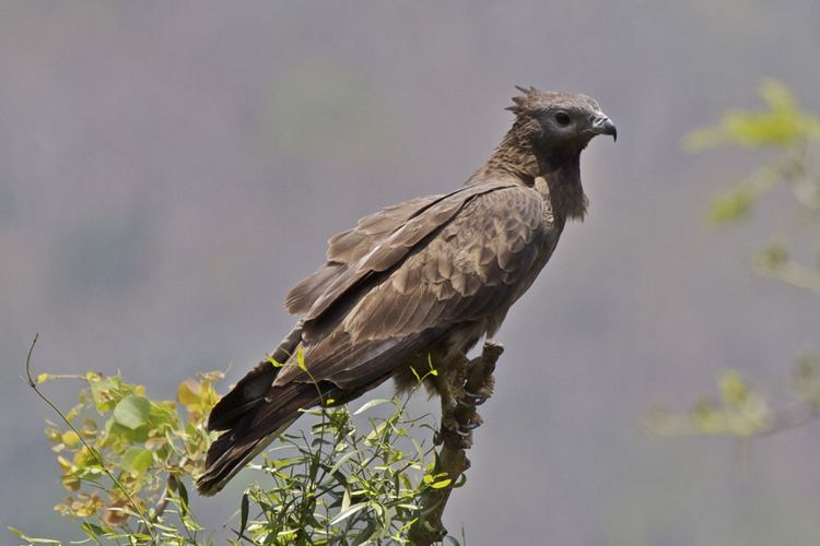 Crested honey buzzard Crested Honey Buzzard Google Search Birds of the world Raptors