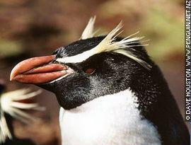 Crested penguin marinebioorguploadEudyptesrobustus1jpg