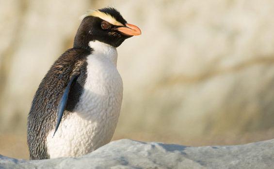 Crested penguin Fiordland crested penguintawaki New Zealand native sea and shore