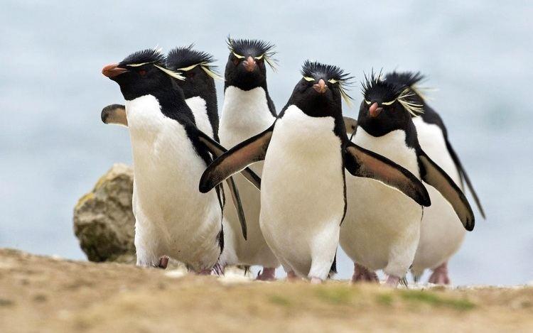 Crested penguin Erectcrested penguin ThingLink
