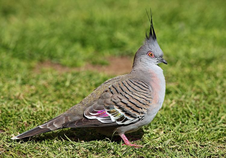 Crested pigeon Crested pigeon Wikipedia