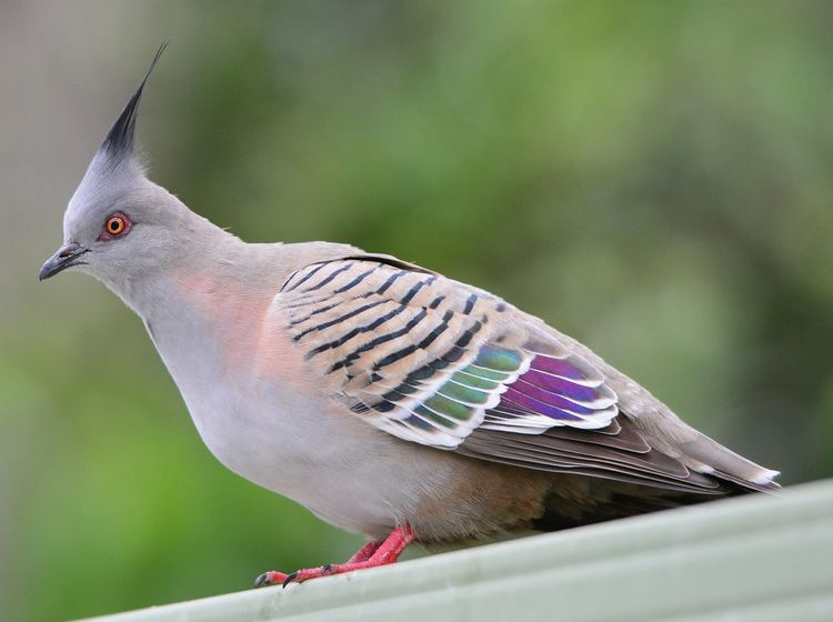 Crested pigeon Crested Pigeon