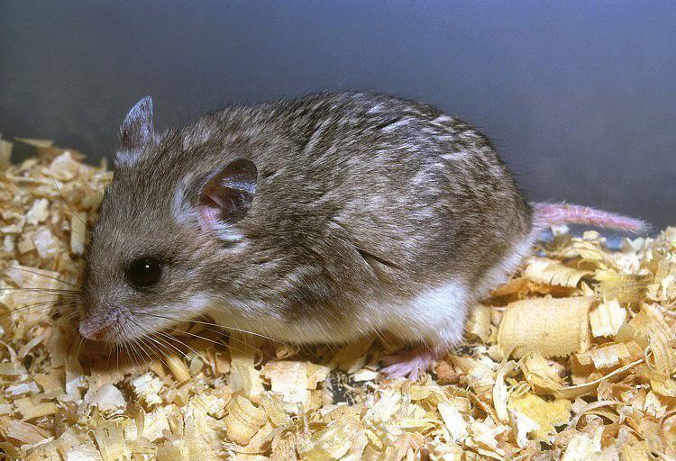 Cricetulus Image Cricetulus migratorius Gray Dwarf Hamster BioLibcz