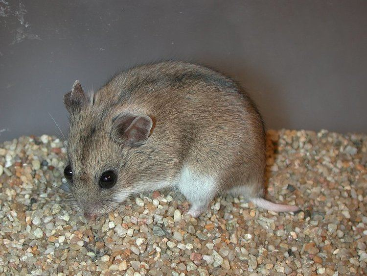 Cricetulus Cricetulus griseus MILNE EDWARDS 1867 Chinese striped hamster