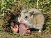 Cricetulus Stock Images of chinese hamster Cricetulus griseus 129156 Search