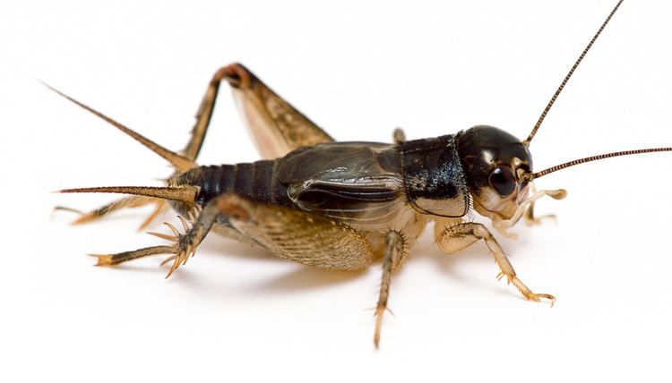 Cricket (insect) Eastern Striped Cricket Songs of Insects