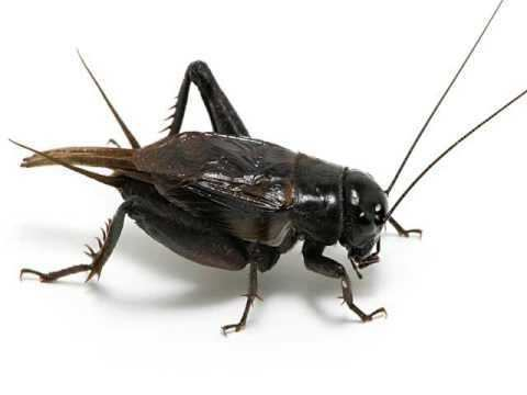 Cricket (insect) Cricket Insect YouTube