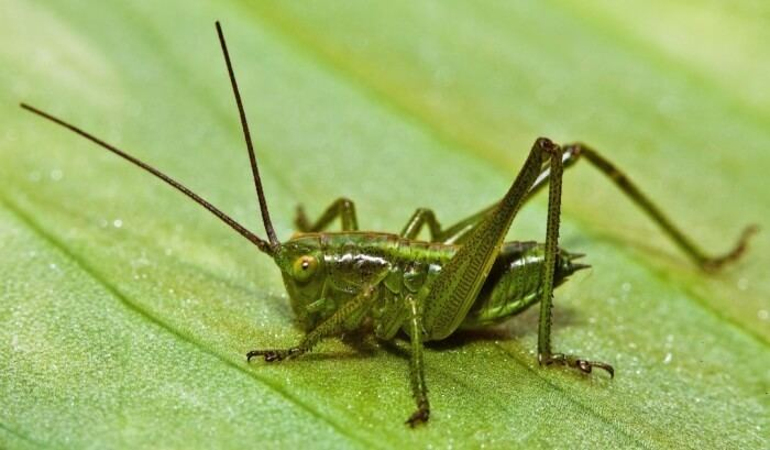Cricket (insect) What Are Interesting Facts About Crickets Joy of Animals