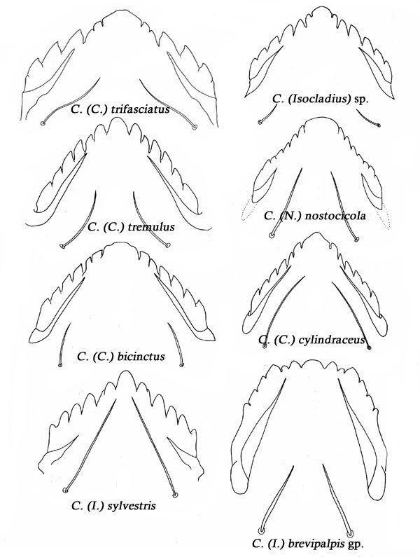 Cricotopus Cricotopus