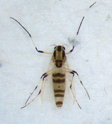 Cricotopus Midge Cricotopus BugGuideNet