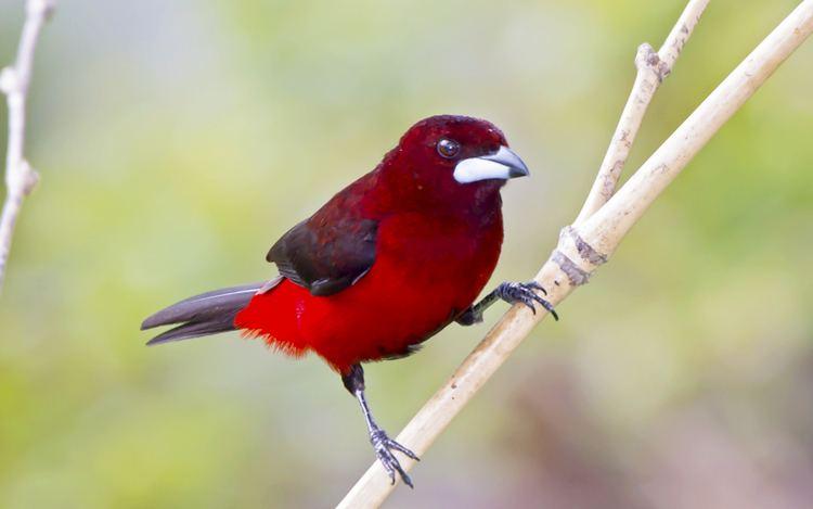 Crimson-backed tanager Crimsonbacked Tanager Safaricks Zoologico