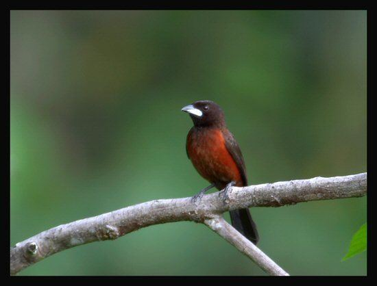 Crimson-backed tanager Mangoverde World Bird Guide Photo Page Crimsonbacked Tanager