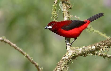 Crimson-backed tanager Crimsonbacked Tanager Ramphocelus dimidiatus Photo