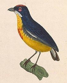 Crimson-breasted flowerpecker httpsuploadwikimediaorgwikipediacommonsthu