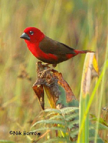 Crimson seedcracker worldbirdseualbum6cimsonseedcracker08jpg