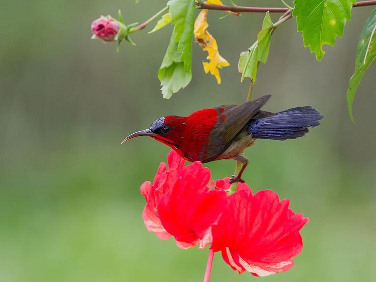 Crimson sunbird Crimson Sunbird in Singapore Francis Yap Nature Photography