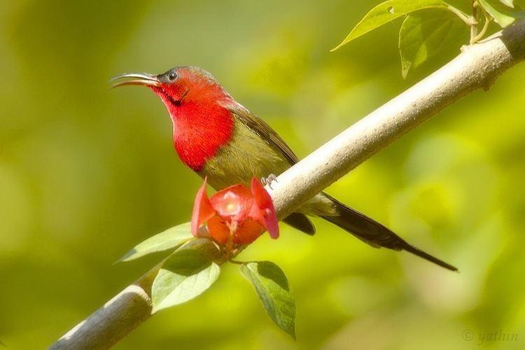 Crimson sunbird Crimson sunbird Wikipedia