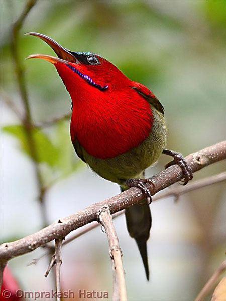 Crimson sunbird Oriental Bird Club Image Database Crimson Sunbird Aethopyga siparaja