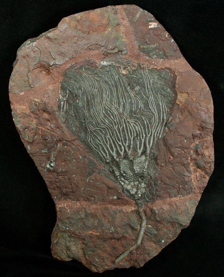 Crinoid About Crinoids FossilEracom
