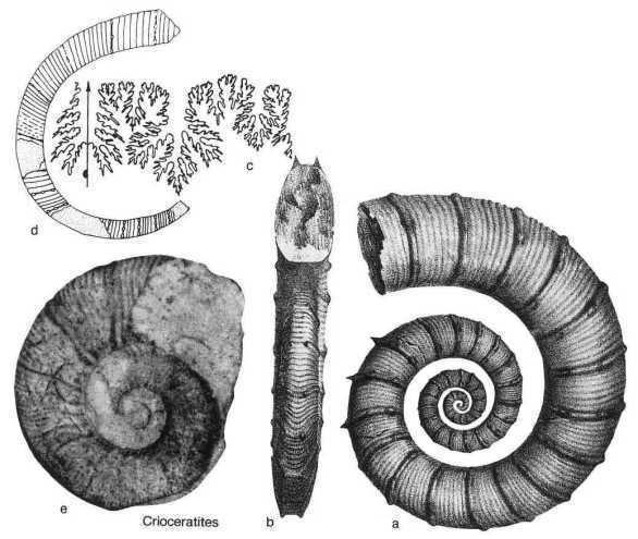 Crioceratites genre Crioceratites