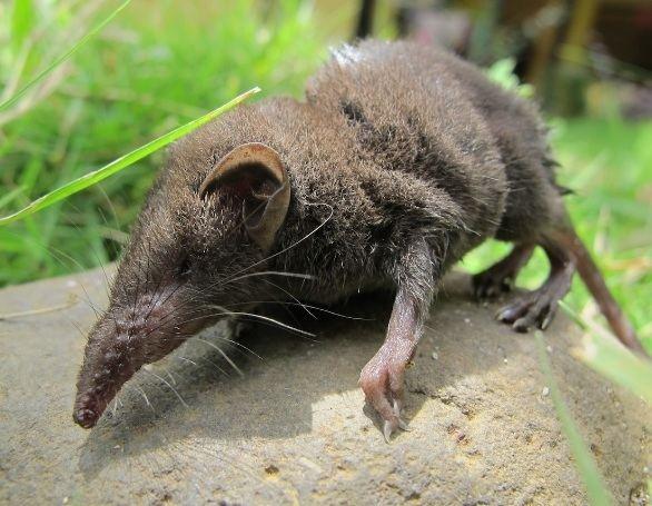 Crocidura New Species Mammals39Planet