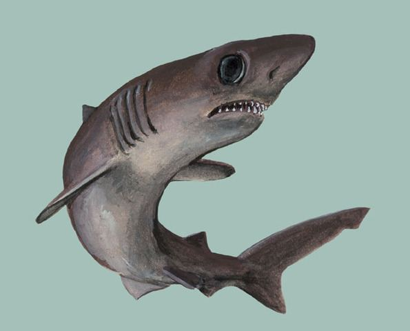 Crocodile shark ADW Pseudocarcharias kamoharai INFORMATION