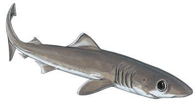 Crocodile shark Crocodile Shark Shark Research Institute