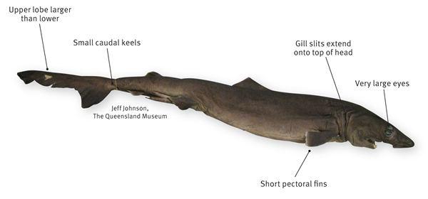 Crocodile shark Crocodile shark