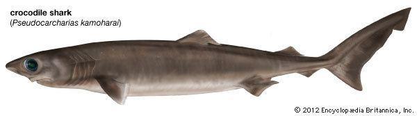 Crocodile shark crocodile shark Kids Encyclopedia Children39s Homework Help