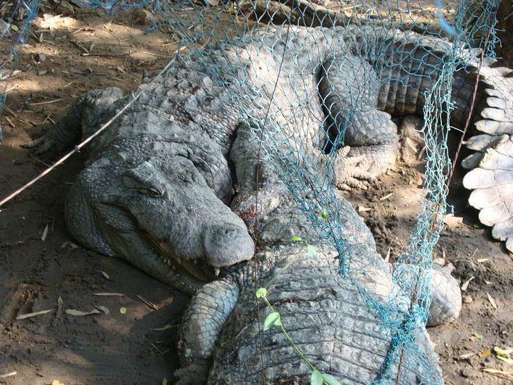 Crocodiles in India