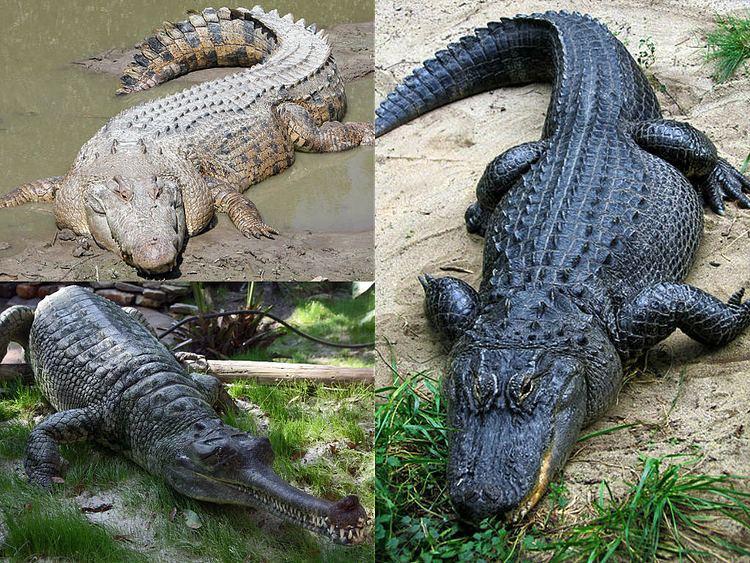 Crocodilia httpsuploadwikimediaorgwikipediacommonsff