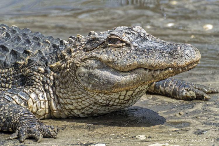 Crocodilia alligator adventure