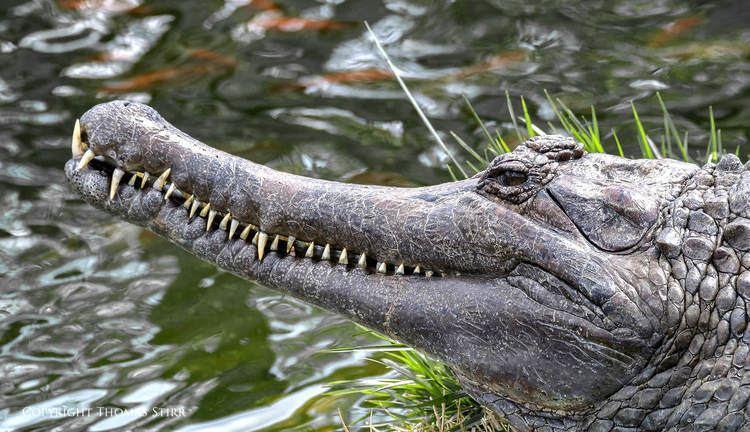 Crocodilia Crocodilia and more at Alligator Adventure