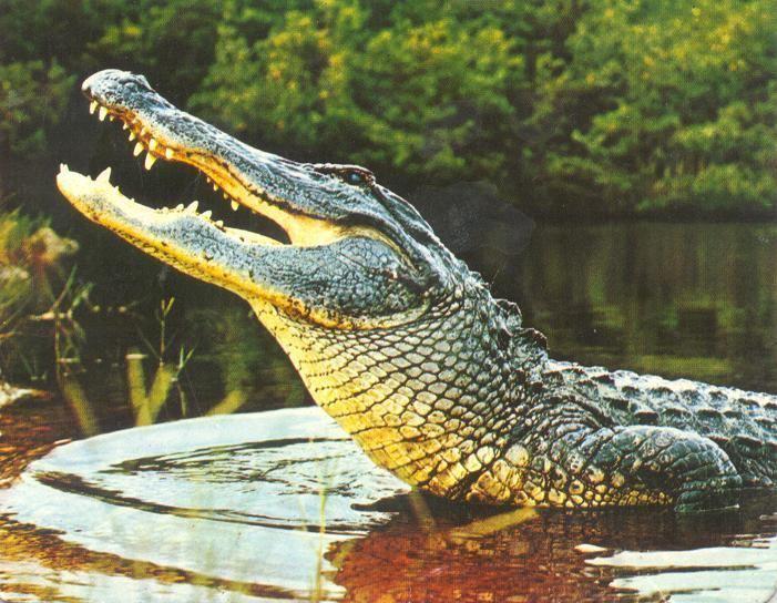 Crocodilia Crocodilia