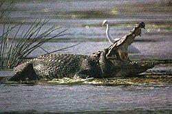Crocodylus Crocodylus Wikipedia