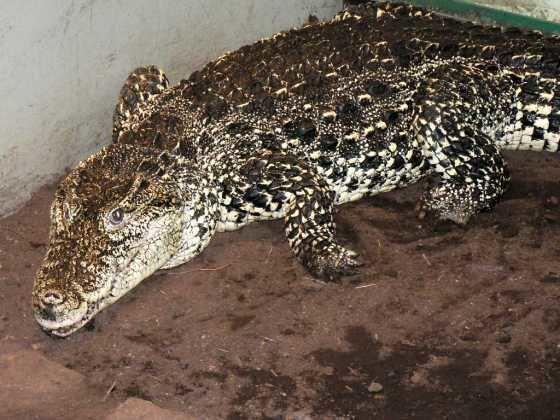 Crocodylus Crocodylus rhombifer The Reptile Database