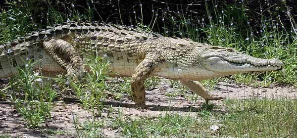 Crocodylus Crocodiles of Africa crocodiles of the Mediterranean crocodiles of