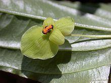 Croomia httpsuploadwikimediaorgwikipediacommonsthu