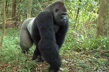 Cross River gorilla North Carolina Zoo Cross River Gorillas