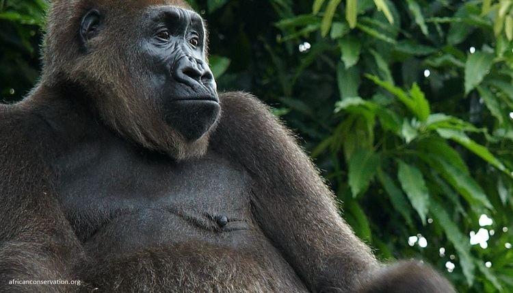 Cross River gorilla Cross River Gorilla