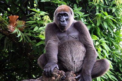 Cross River gorilla Cross River gorilla Wikipedia