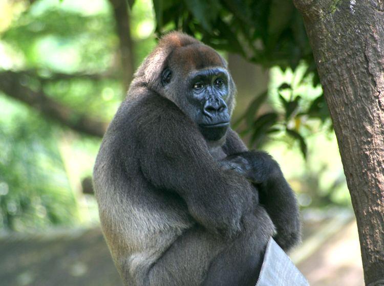 Cross River gorilla httpsuploadwikimediaorgwikipediacommons66