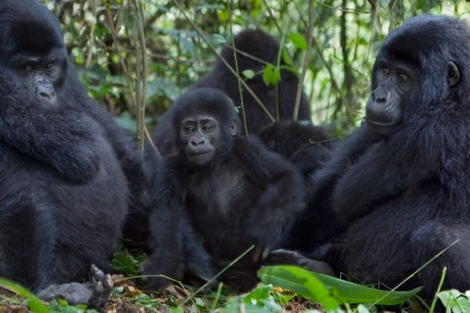 Cross River gorilla Rarest of gorillas the Cross River gorilla is fighting back