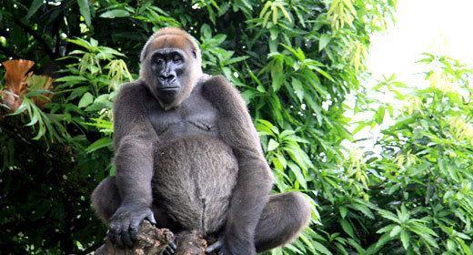 Cross River gorilla Cross River gorilla Fauna amp Flora International