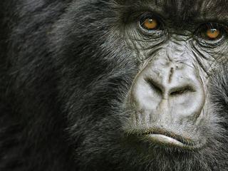 Cross River gorilla Cross River Gorilla Species WWF